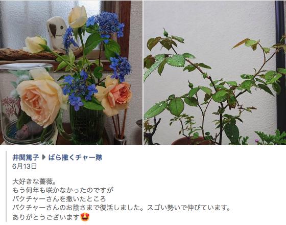 バクチャー植物 バラが咲く