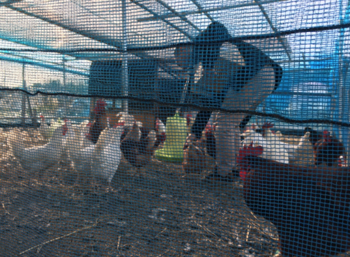 バクチャーで養鶏場