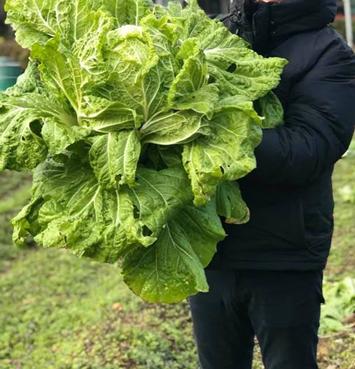 バクチャーで白菜 家庭菜園