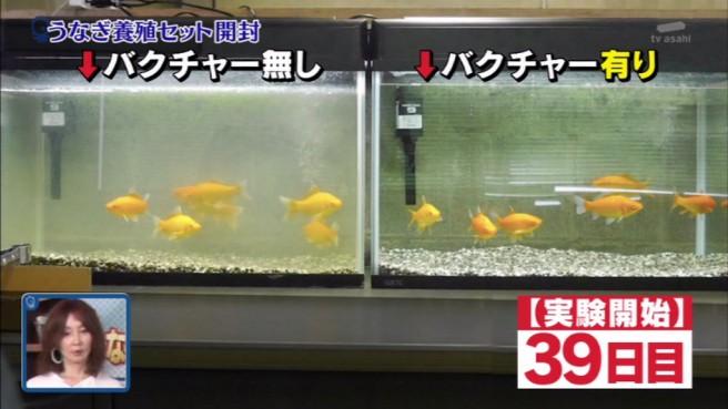 バクチャー 水槽 熱帯魚